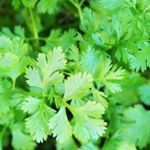 Cilantro   - Delicious in every way. Fast growing and superb for flavouring soups and meats with its leaves and stems or its aromatic seeds. Widely used in salsas or guacamole and is also used in many curry recipes. The leaves make an attractive garnish topping.