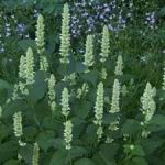Agastache - Mint  - Agastache needs long days. Up to 14 hours to set bud. You will love the aroma, flavour and look of this favourite. The flavour starts mildly licorice and finishes off minty. Outstanding as a garnish or for brewing tea.