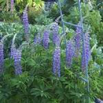 Lupines - Produces lots of spikes of long scented flowers great for cutting. Easy care plant in beds and borders.  Thin foliage out on established plants and water from the bottom for optimal results. Trumpet shaped flowers are followed by spiky ornamental seedpods which last well and cut arrangements.