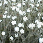 Lychnus - This  perennial forms dense clumps of silver-green foliage and multi-branched, gray green stems, and produces pure white blooms for much of the summer. They are very drought tolerant, and are known to be deer resistant. - Click for more details!