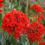 Lychnis Maltese Cross - This outstanding beauty has bright green, lance shaped leaves  offset by striking scarlet red flowers, borne on stiffly erect stems. Does well in sandy soils in full sun.
