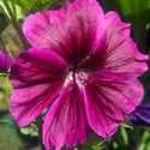 Malva - Perfect for naturalizing in a wild garden or odd corner. Selected for its deep purple, veined bloosoms and hairy textured leaves, these hearty moisture tolerant giants, provide a bounty of cut flowers. The leaves release a musky sent when crushed. Reliable, deer resistant,cold tolerant and a long bloomer.