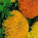 Marigold - African Marigold is deer resistant, drought tolerant and a great cut flower. Its easy care and easy to grow attributes are perfect for encouraging young gardeners. In 45 days is produces large, full bodied flowers that help disguise other plants odors making it a fantastic companion plant.