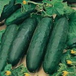 Cucumber - Produces loads of deep green smooth straight 8 inch long cucumbers that are 2 to 2.5 inches across. Very dependable producers with delicious flavour and juiciness. Introduced by Ferry Morse in 1935. Best grown in trellises.