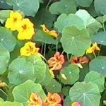 Nasturtium - Nastursiums are extensively used in organic pest control. They are beneficial in attracting aphids away from other prize plants as well as attracting beneficial hoverflies that eat them. Easily grown in any soil and blooms for long periods. Nasturtiums require little water and no fertilizer, as enriched soil tends to  produce more foliage than flowers.  Use the brilliant colors of the flower petals and spice of the leaves as a garnish or to add the finishing touch to your garden fresh salads. Sweetly scented edible flowers and spicy scented foliage attracts hummingbirds.