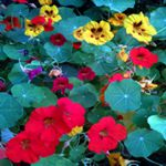 Nasturtium - Nasturtium is extensively used in organic pest control. They are beneficial in attracting aphids away from other prize plants as well as attracting beneficial hoverflies that eat them. Easily grown in any soil and blooms for long periods. Nasturtiums require little water and no fertilizer, as enriched soil tends to produce more foliage than flowers.  Use the brilliant colours of the flower petals and spice of the leaves as a garnish or to add the finishing touch to your garden fresh salads. Sweetly scented edible flowers and spicily scented foliage attracts hummingbirds.