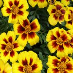 Marigold Naughty Marietta - A low growing edible plant with beautiful masses of golden yellow flowers with a variety of deep red splashes of color.This beauty has finely divided, aromatic leaves which repel insects and pests. Use in beds, borders, containers and as companion plants for tomatoes, potatoes, strawberries and roses to deter pests.  Enjoy the citrus flavored flowers in salads or as a garnish. Flowers all season long. Very easy to grow and care for and its a fabulous focal point when planted in masses. Attracts bees and butterflies..