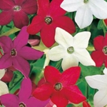 Nicotiana/Scented - A bounty of highly scented flowers and a variety of color. More compact than the nicotiana sylvestris at 60 centimeters it makes a great cut flower.Attracts bees, hummingbirds and butterflies.