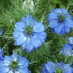 Love in a Mist - Direct sow this attractive, easy to grow pale blue, white or lilac on delicate green foliage. They are a great cut flower filler and seed pods from these plants are used in dried flower arrangements. If some flowers are left to seed, they will self-sow making them a great wildflower. Easy to maintain.