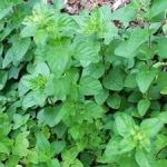 Oregano - Semi hardy perennial that produces a bountiful crop of pleasantly aromatic  foliage and flowers.  For optimum growth and flavour, plant in fertile, moisture retentive soil. Oregano is often used in tomato sauces, meats and stews and is a great addition to any spicy dish.