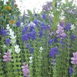 Painted Sage - Intense pink, purple or white flower bracts make a striking uniform display of colour in beds or borders. The foliage is scented and adds colour to cut arrangements. Holds brilliant tones dried or pressed.