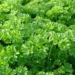 Parsley - Parsley flavour complements any dish without ever dominating the taste. This variety features deep green, ruffled foliage and has a vigorous growth habit. It is a biennial or tender perennial that when planted with roses enhances their fragrance. Also used extensively as a garnish and for its superior breath freshening qualities.