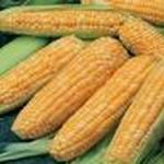 Honey & Cream Corn - A tasty bicolored corn with blunt ended 8 inch ears of sweet tender white and yellow kernels. Incredible flavor for fresh eating, canning or freezing. Plant with beans to provide nitrogen and save space.
