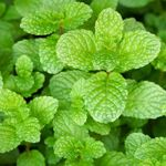 Peppermint - Peppermint is one of the most widely used herbs in the world. It is easy to grow for teas and used to add flavour to a wide variety of desserts, beverages and can even be used as a deodorizer.