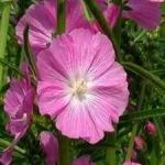 Prarie Mallow - Perfect for naturalizing in a moist landscapers and borders. Mallow enjoys full sun but will tolerate some shade in warmer climates. It's attractively divided, hairy foliage produces tall spikes of pink saucer shaped blooms, make it a useful cut-flower and filler. Keep soil moist to encourage stronger yield. You may also cut back after 1st flowering to encourage a second bloom period.