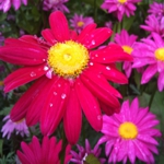 Pyrethrum Daisy -  Trusty early blooming perennial and long lasting cut flower that is deer resistant and drought tolerant. Striking daisy like flowers, on strong stems, from slighty scented, feathery foliage in a range of pink and magenta shades.Great focal point for garden spaces and bouquets.