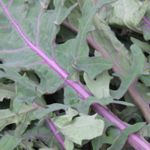 Kale Red Siberian - On Sale. Contact us about bulk orders. Cold tolerant.  Plant grows easily and quickly and make it an excellent winter greens that are high in nutrients and flavour. A must have for any Salad Garden.  - Click for more details!