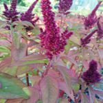 Amaranthus - Clearance Sale. This ancient Aztec gluten free grain is related to Quinoa, Beet and Chard. Five to six foot tall at Summers end, and they produce plumes of highly ornamental wine red flowers and edible burgundy leaves. Highly ornamental and produces an abundance of white seeds.