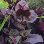 Red Mountain Spinach -  Adds texture, color and flavor to salads. Red Mountain Spinach can grow to  5 or 6 feet making it an attractive edible plant whose succulent leaves do not bitter in bolt. Produces a beautiful bloom, so if your able, let one bolt on purpose. The seed provided by the plant will attract beneficial birds and insects to your garden as well as provide you with an attractive conversation piece.Grows best in a sunny and well drained location. Sow seed directly when earth can be worked and temperatures and after last frost.The leaves are extremely tender when harvested young.