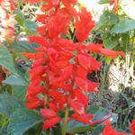 Red Hot Salvia - Make your beds and borders pop with color and beneficial insect life! This plant commands attention in any garden project. Very reliable with long bloom periods of stunning red  flowers and deep green foliage. Also great for deck planters and startlingly beautiful in bouquets. Attract butterflies, bees and hummingbirds like a magnet.