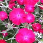 Lychnis - This perennial forms dense clumps of silver-white foliage and multi-branched, gray-green stems and produces masses of deep to moderate pink blooms for much of the summer. They are very drought tolerant and are known to be deer resistant.