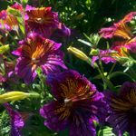 Salpiglossis - This Salpiglosis mix is a real eye-catcher. Intricate, prominent purple veins on yellow and red or yellow and purple petals. Great in planters on decks for a conversation piece and as a sure hummingbird magnet. Appreciates moist but well-drained soil for acclimatizing and for longer lasting blooms.