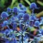 Sea Holly - Vibrant silver-blue foliage with metallic blue seedpods that sport radiant spiny bracts. Excellent in cut flowers & dried arrangements. Cut before they fully open as these will continue to open in the drying process. Hanging them upside down to dry ensures weaker stems do not flop over. A great conversation piece for a dinner bouquet or garden focal point. Long grown in seaside gardens for its salt tolerance. Deer resistant.