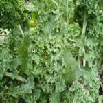 Kale - Siberian Kale to provide cool season greens straight from your garden. Easy , delicious and high in vitamins and fiber. Also use in soups, stir fries or as an attractive garnish. Very cold hardy.