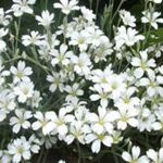 Snow in Summer - Hardy, dwarf, trailing and drought tolerant plants with silvery foliage, covered in a blanket of white blossoms. Great for rock gardens and walls. Early bloomer. Sheer spent flowers to promote further blooms.