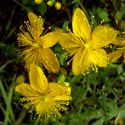 St. Johns Wort - Produces a perennial herb in masses of 1 to 2