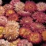 Strawflower - Picture shown is of the dried flower heads. The colour of dried flowers is much more vibrant. Very easy to grow bright, straw-like textured flowers on long sturdy stems, Colors range from red, orange, yellow and white. Truly amazing staying power as a cut or dried flower. Used extensively in decorating and crafts. To dry strawflower, cut flowers before it's head is fully open and hang upside down in a cool dark airy room.