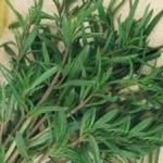 Savoury - Summer  - This outdoors growing herb can withstand a light harvest after 5 to 6 weeks. Summer Savory is often used in recipes where Thyme and Sage are called for. - Click for more details!