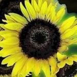 Sunflower - Superflora  - Easy to  grow. A delight for children and good for the garden as it attracts beneficial wildlife. Produces a flower stem at every node making it perfect for plentiful cut flowers and producing high oil content birdseed. Very sturdy in poor soil. - Click for more details!