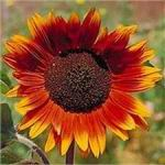 Sunflower - Autumn Beauty  - A beautiful addition to your garden. It's a mix of vibrant reds and yellow flowers are easy to grow. Produces a flower stem at every node making it perfect for plentiful cut flowers. Birds will flock to the flowers when the seeds are ripe, providing a natural bird feeder. Very sturdy in poor soil. Plant edible peas or sweet peas at the base of your sunflowers. The stalks and branches will serve as a place for the vines to cling to and create an attractive garden feature.