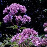 Sweet Joe Pye Weed - Great cut flower with a sweet vanilla scent.Excellent choice for shdier beds. Native to damp meadows, marshes and stream banks. This plant prefers rich soil but will grow well in almost any soil. Native to damp meadows, marshes and streams banks, this plant will grow well in almost any conditions. Normal height is  4 feet but plants can grow up to 6 feet in optimal conditions. Plants are topped with eye catching flower heads in reds, pink and purples on tall straight stems. Butterflies and hummingbirds adore this plant and you will find they visit the blooms regularly.Blooms mid to late summer.
