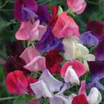 Sweet Peas - These sweet, sweet, Sweet Peas will bring you back to when you were a child and first noticed flowers could smell good. Produces spicy sweet blooms in a wide range of colours. Plant in early Spring and cut often to encourage blooms all summer long. Perfect for confined spaces and does well in large pots.