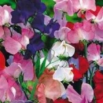 Sweet Peas - This highly sought after mix produces many long-stemmed, large, sweetly scented blooms in near pure white, pink, red & purple colours on tall plants. Perfect choice for cutting. Sweet Peas can be planted early in Springs and enjoy having cool moist roots and sun for its leaves and flowers.  Cutting flowers will encourage blooms. Provide trellis support for the best result.