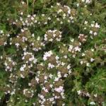 English Thyme - Perennial herb & ground cover. Clip lightly after flowering to encourage bushiness. Grows well in poor well-drained soil. Use fresh or dried for meats, wine sauces, dressing, poultry, eggs, stews and dressings. Aromatic foliage makes it a great companion, patio or border plants. Its medicinal properties include being an astringent, anti-fungal and an antiseptic. A must-have in any herb garden.