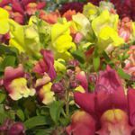 Trailing Snapdragon - A spectacular trailing mix of colourful,