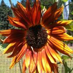 Velvet Queen Sunflower -  A beautiful addition to your garden. Birds will flock to the flowers when the seeds are ripe providing a natural bird feeder or collect the seed head for your self for next years planting. Very sturdy in poor soil but an avid producer in evenly moist soils.