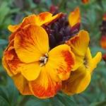 Wallflower - Scented goddess. The perfect border plant that is great in beds. This early, lengthy bloomer provides masses of sweetly scented flowers in marbled  and solid colours. Plant in a sunny, open position in well drained fertile soil. Cut back after blooming leaving  only a few leaves on each stem. Spectacular cut-flower. The incredible aroma easily fills a room. Very easy to grow and deer resistant. Great early Spring scent and colour. Will bloom early as  February in warm climates.