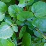 Watercress - Watercress is highly prized for its vitamin content and distinctive peppery taste. and crisp texture. Best grown near free flowing water, in a container  without drainage or in a winter garden where the moisture content is the highest.
