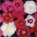 Sweet William - Very compact plants in red, pink and white in a variety of colour combinations that bring a cheery feel to any garden and bouquet.Scented! - Click for more details!