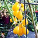 Yellow Pear Tomato - Indeterminate plants produce loads of sweet mellow flavoured 1.5 inch pear shaped yellow fruits. Great for fresh eating, salads,garnishes or for preserves. Get ready for a large tasty harvest. - Click for more details!