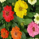 Zinnia - A  tough plant and easy to grow. Producing a mix of single, semi and fully double flowers, in shades of pinks, scarlet, yellow, orange and cream, lavender and white. Perfect for middle placements in beds and superior in colours for cut flower arrangements.  - Click for more details!