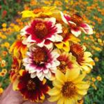 Zinnia - Elegance with colourful class.   Zinnias slender stems and the bright green leaves boast 1 to 1.5-inch flowers, with jagged bands of intense colours of fiery yellows, oranges and reds and white. Creates a brilliant effect planted in rows or in masses in bed and borders. Excellent selection for fresh cut flowers until the last frost. You can't miss with this faithful producer. Easy to Grow.