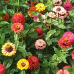 Zinnia -  Pumila provides loads of huge, bright and cheery (2.5-3