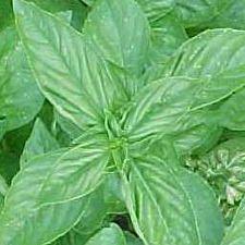 Basil - Lemon
