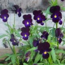 Blackjack Viola