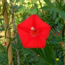 Red Cardinal Vine